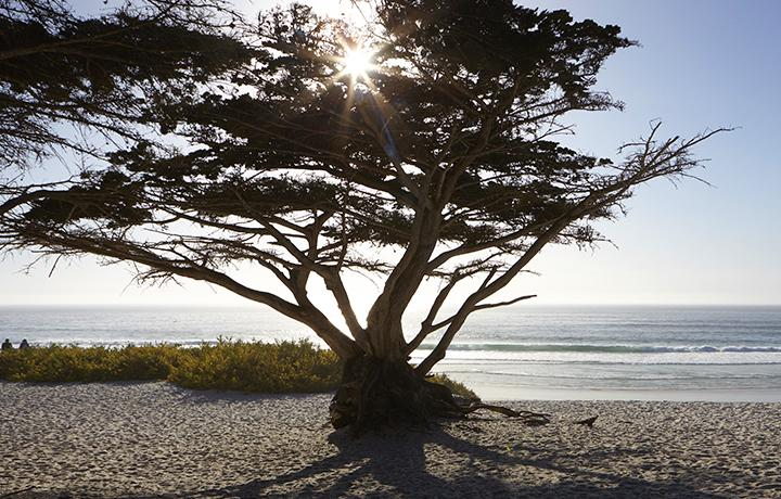 Large tree on beach with sun shining through leaves and ocean in background